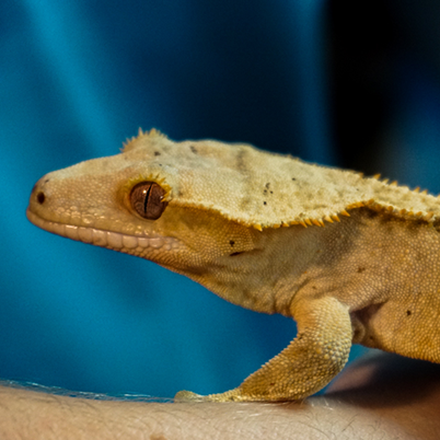 Crested Gecko crawling on an employee's arm.