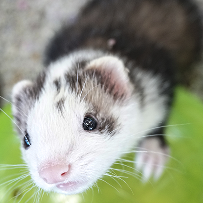 Ferrets being curious of what is a camera.
