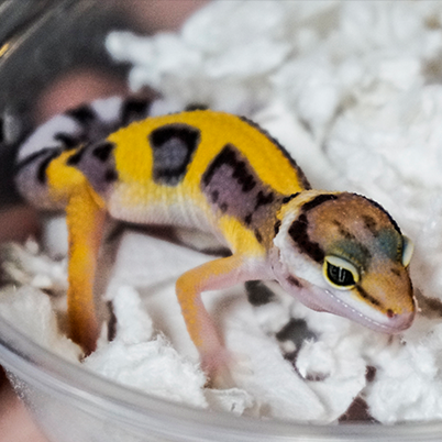 Leopard Spotted Gecko in arrival container.