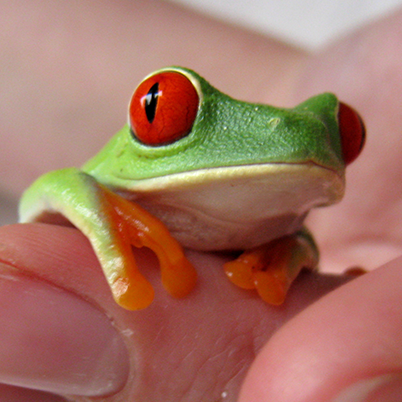 Green Red-Eyed Frog on employee hand.